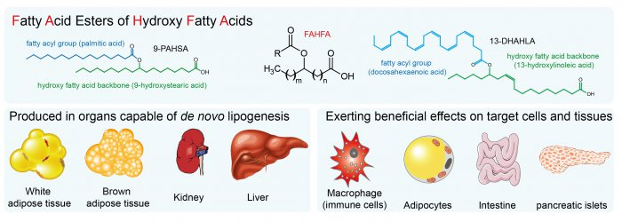 Anti-inflammatory effects  of novel lipokines of fatty acid esters of hydroxy fatty acids  (FAHFA) family in obesity