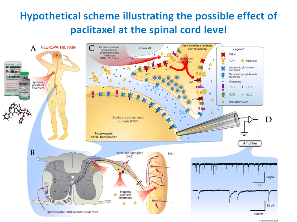 INSTITUTE OF PHYSIOLOGY CAS - Chemotherapy induced neuropathic pain